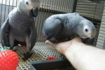 African Grey Parrots and Fertile Eggs For Sale