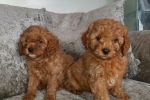 Poodel male and female Puppies